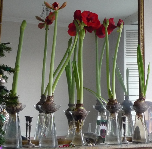 Growing your indoor plants in water gardening forums for Vase amaryllis