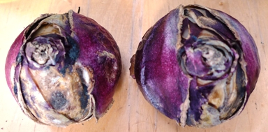 hyacinth bulbs with split skins