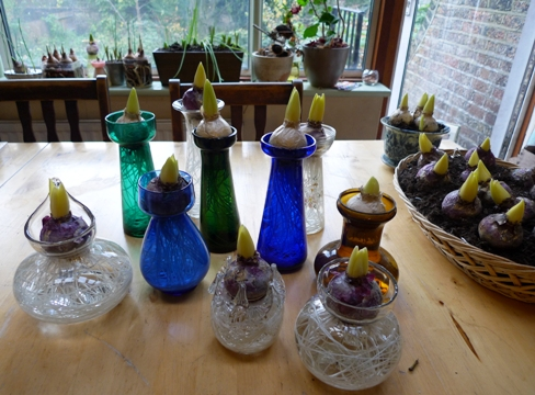 first hyacinth vases out of the cellar