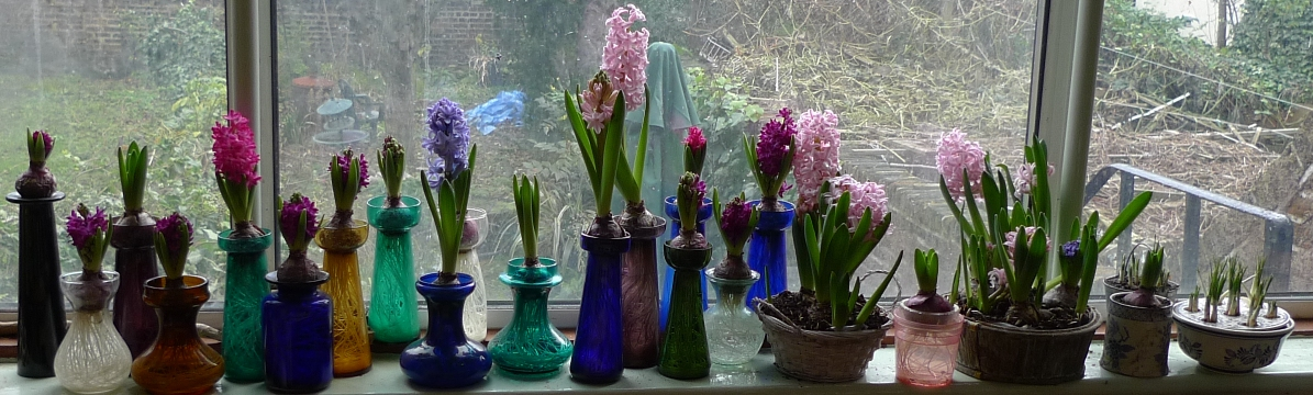 Forcing Hyacinth Bulbs In Water F Ffo 2018