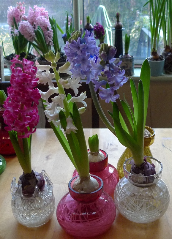 1000 images about hyacinth flower s mb l i e i on pinterest hydrangeas bulbs and hyacinth - Planting hyacinths indoors ...