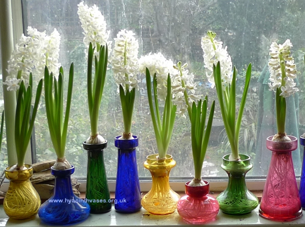 LInnocence hyacinth bulbs in hyacinth vases