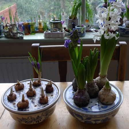 crocus and hyacinth bulb bowls
