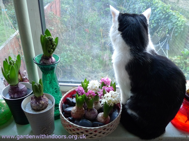 hyacinths cat windowsill