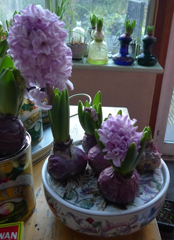 bulb bowl with splendid cornelia hyacinths