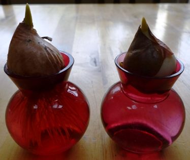 tulip bulbs in vases